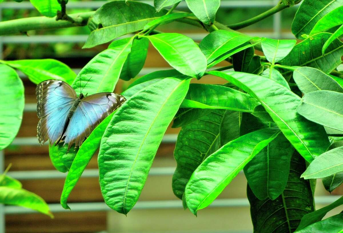 A butterfly at the California Academy of Sciences.