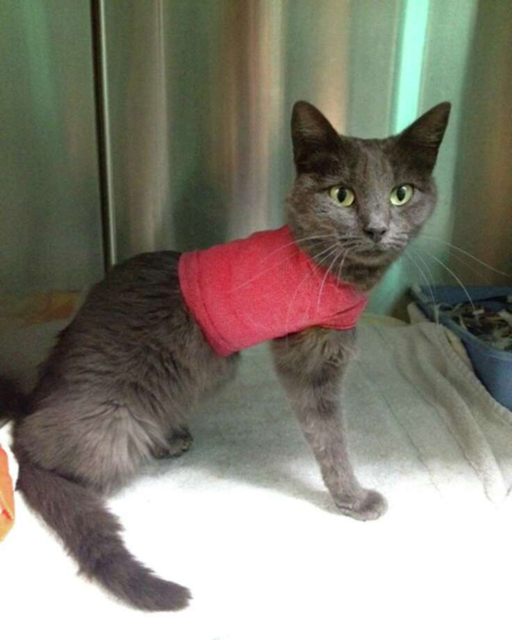 This cat was discovered with rubber bands cutting off its circulation Sept. 2, 2015. If you have any information about this animal cruelty case, please contact the Bexar County Sheriff's Office Tip Line at 210-335-TIPS (8477). Photo: Bexar County Sheriffs Office