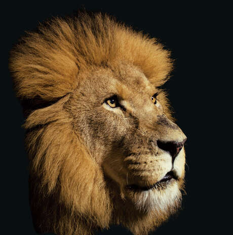 National Geographic magazine is known for photography like this image of a lion at the  Houston Zoo for the December 2011 issue. Photo: Vincent J. Musi