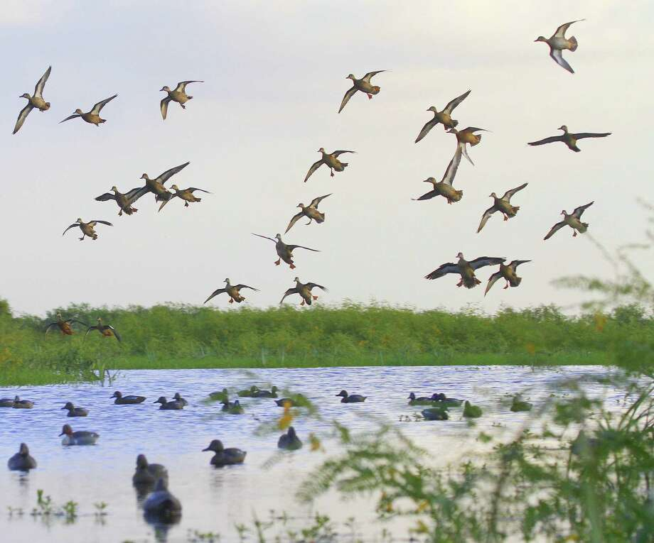 Good concentrations of early-migrating blue-winged teal are scattered over Texas' coastal prairies and marshes ahead of the Sept. 12-27 teal-only hunting season. Photo: Picasa