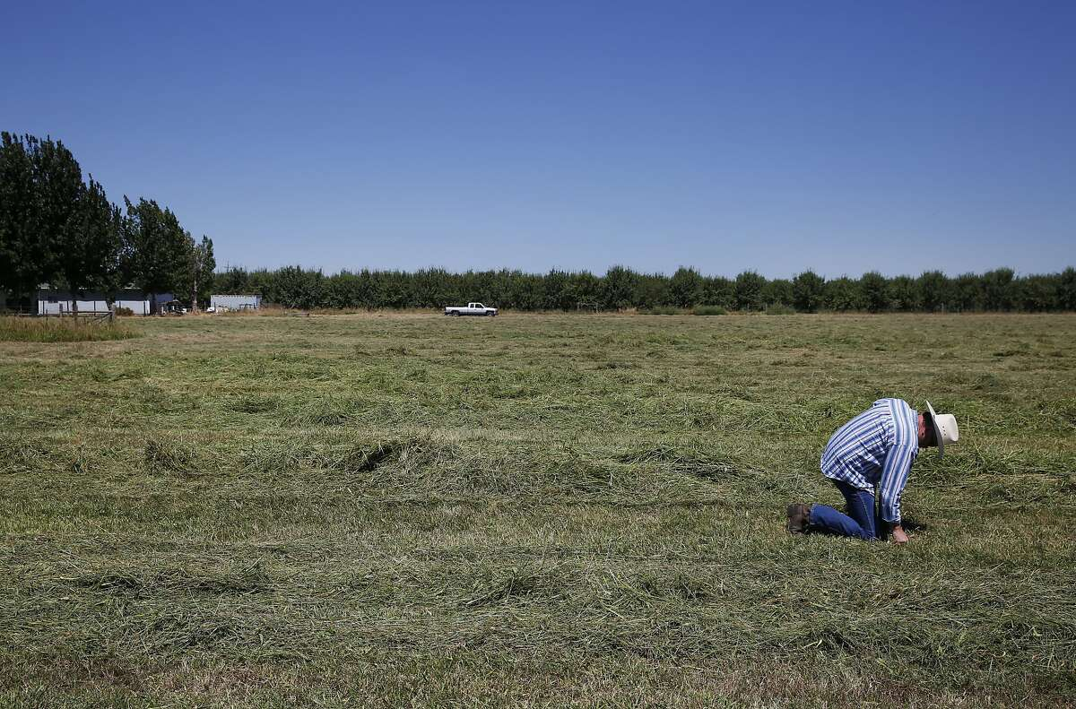 Dennis Baker feels how dry his hay field is after it was cut early to avoid fire danger because it had dried out from lack of water at Baker's 40-acre farm in Tracy. Baker has water rights, but his are not senior enough.