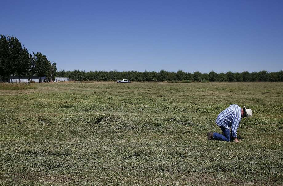 """Dennis Baker, 53, feels how dry his hay field is after it was cut early to avoid fire danger after it dried out because of lack of water at Baker's home July 14, 2015 in Tracy, Calif. Baker, though he has senior water rights, had his water turned off after the California State Resources Control Board ordered Banta-Carbona Irrigation District to stop pumping water. Baker was forced to cut his hay early because of a fear that his 40 acres would catch on fire due to the dryness. Another concern is that his """"permanent pasture"""" of reseeding grass will die. The grass has been reseeding itself for over 50 years and if it dies, he will have to replant it, which will cost extra money in a time where his small business is already strapped for cash. Photo: Leah Millis, The Chronicle"""
