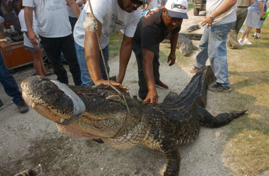 Volunteers with The Great Texas Aligator Roundup lower a 12 foot 4 inch aligator down from the scales after it weighed in at 556 pounds at the 2002 Texas Gatorfest at Fort Anahuac Park in Anahuac. Enterprise file photo Photo: The Beaumont Enterprise