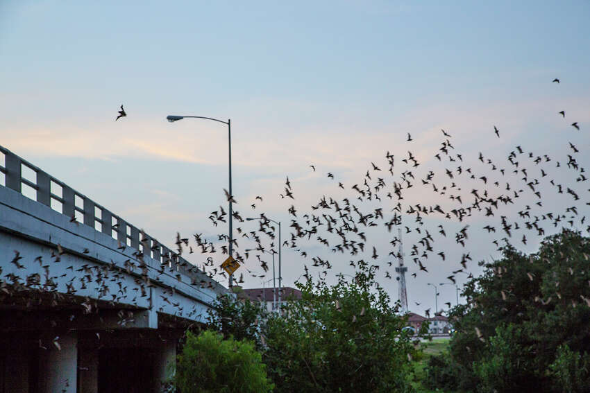 Answer: The Waugh Bridge at Allen Parkway is one of the best spots in the city to watch bats take flight.