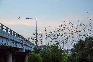 Mexican free-tailed bats emerge from under the Waugh Bridge at Allen Parkway every evening.