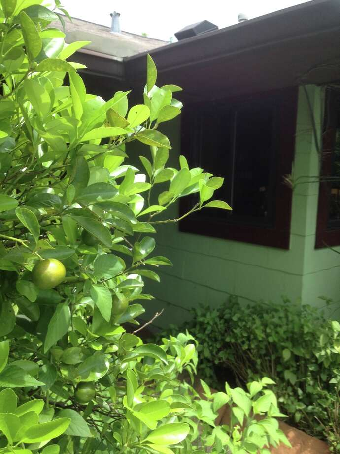 This calamondin tree was planted very close to the nearby kitchen, so a year-round supply of tasty sour flavored citrus is just seconds from the kitchen. As a bonus, the tree provides bird nest habitat, a privacy screen and fragrant flowers. Photo: Bob Randall