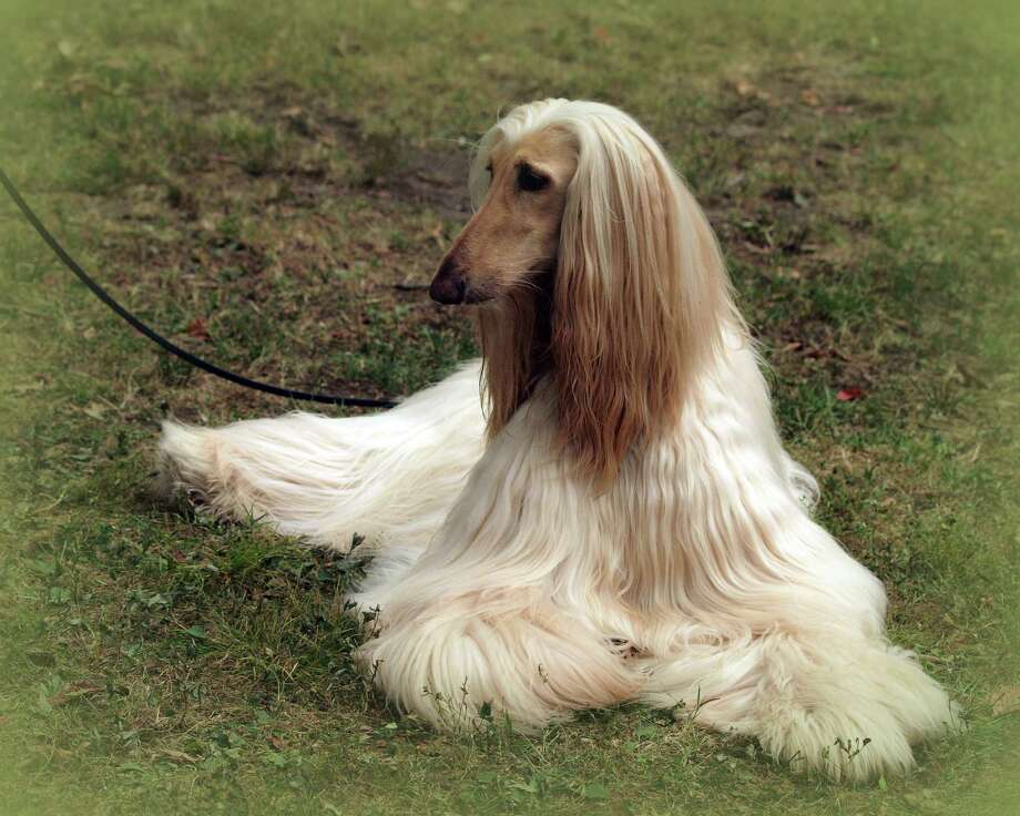 "An Afghan hound looks relaxed at a recent event at the Greenwich Kennel Club. The club is hosting a ""social"" for puppies and their owners who desire well mannered dogs, like the one above. Photo: Joan Carruthers /Contributed Photo"