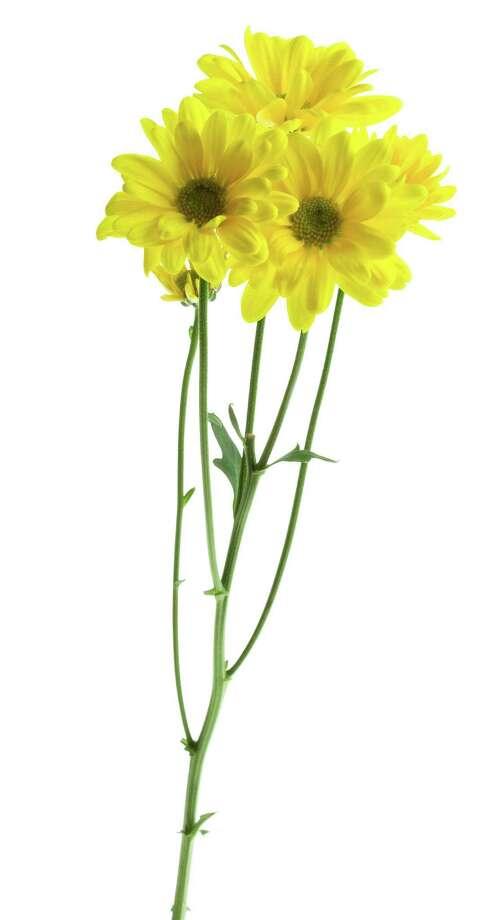 Yellow chrysanthemum flowers Photo: PhotoObjects.net / (C) 2007 PhotoObjects.net
