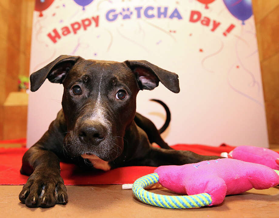 "PetSmart celebrates ""Gotcha Day,"" the day adopted pets find forever homes Sept. 11-13, at PetSmart Stores. It's expected to Save 15,000 lives Photo: Richard W. Rodriguez/AP Images For PetSmart"