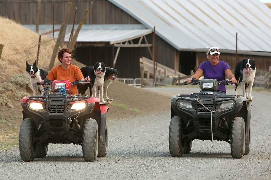 Livestock manager Ellen Skillings (left) and shepherd Kelsey Nichols transport herding dogs at McCormack Ranch in Rio Vista. Photo: Liz Hafalia, The Chronicle