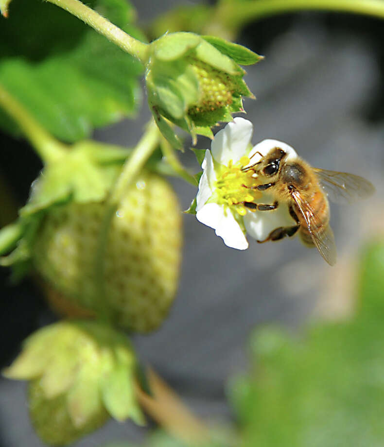 A busy bee is seen pollinating flowers on strawberry plants at Bowman Orchard on Thursday, Aug. 13, 2015, in Rexford, N.Y. (Lori Van Buren / Times Union) Photo: Lori Van Buren / 00032990A
