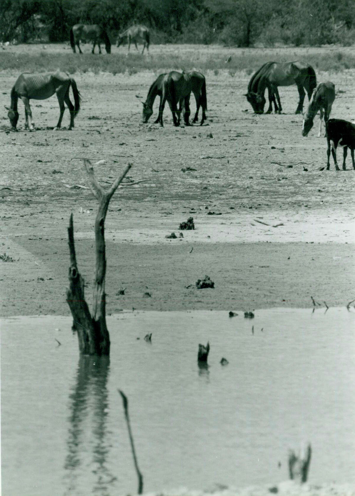 Horses are seen looking for food in Piedras Negas, Mexico, during the drought in 1988.