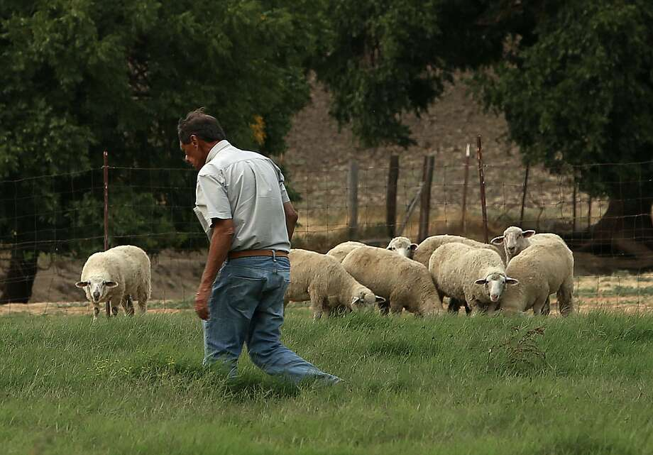 Owner Al Medvitz of McCormack Ranch walks a field with lamb raised for Fatted Calf in Napa and San Francisco at McCormack Ranch in Rio Vista (Solano County).  Photo: Liz Hafalia, The Chronicle