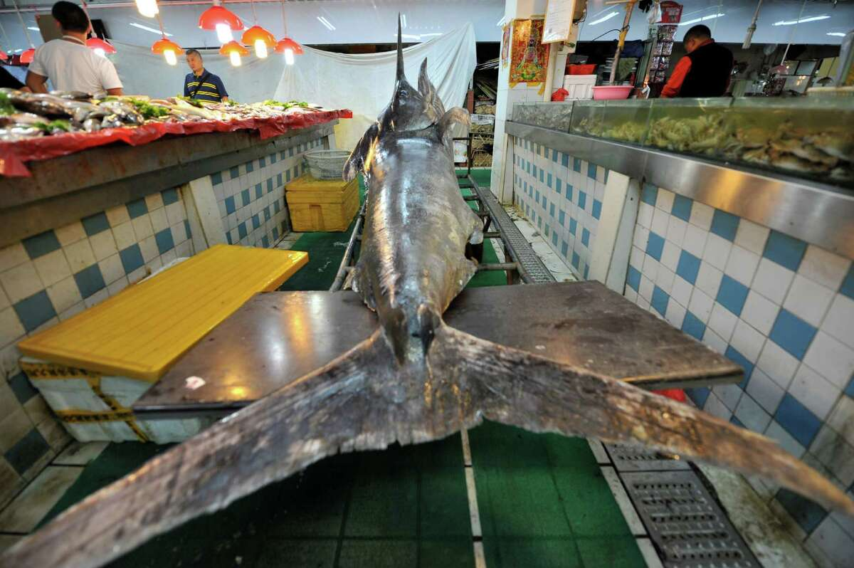 A 310-kilogram weight swordfish at a wild seafood supermarket on September 12, 2015 in Qingdao, Shandong Province of China. A fisherman caught a swordfish on Friday in Yellow Sea which weighted 310 kilograms and was 4.1 meters long. The swordfish has carried to a seafood supermarket in Qingdao City.