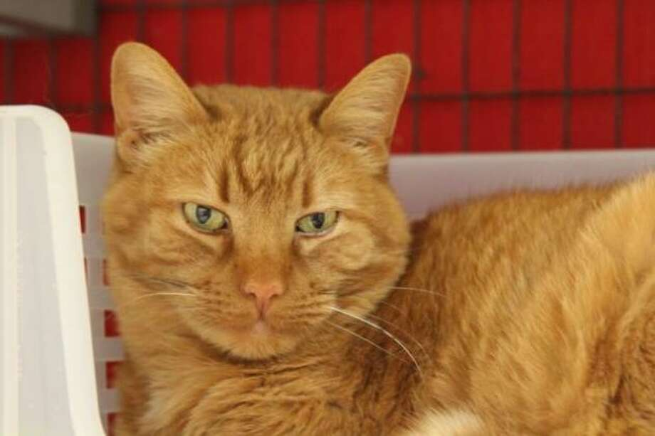 Tribo is a beautiful dark orange tiger cat who is super sweet and loving. (Mary Lou Baker)