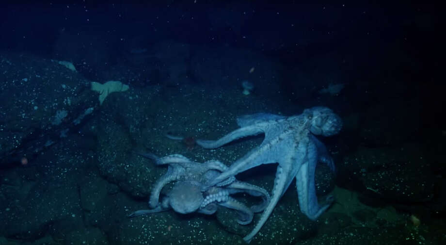 While exploring the coast of southern California last month, the Exploration Vessel Nautilus caught some footage of two octopi in an apparent showdown. Photo: Nautilus Live