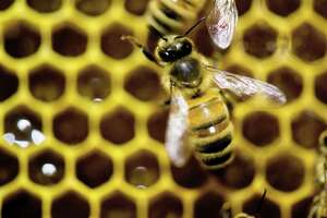 Bees to buzz at Ansonia's Nature Center - Photo