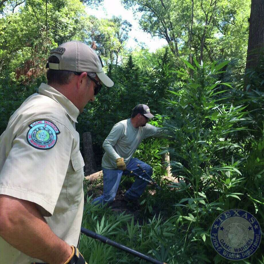 TPWD game wardens removed more than $6 million worth of marijuana plants from state park land over the weekend. Photo: Texas Parks & Wildlife Department