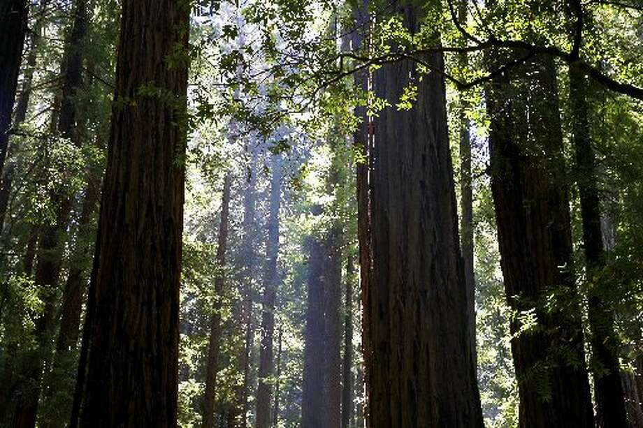 Redwoods at Muir Woods in Mill Valley