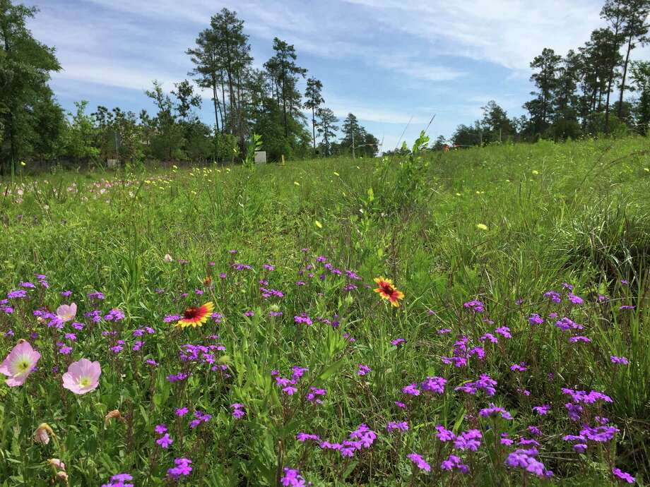 Developers of Springwoods Village have used native plants such as prairie verbenas, black-eyed Susans and Texas bluebonnets in landscaping.