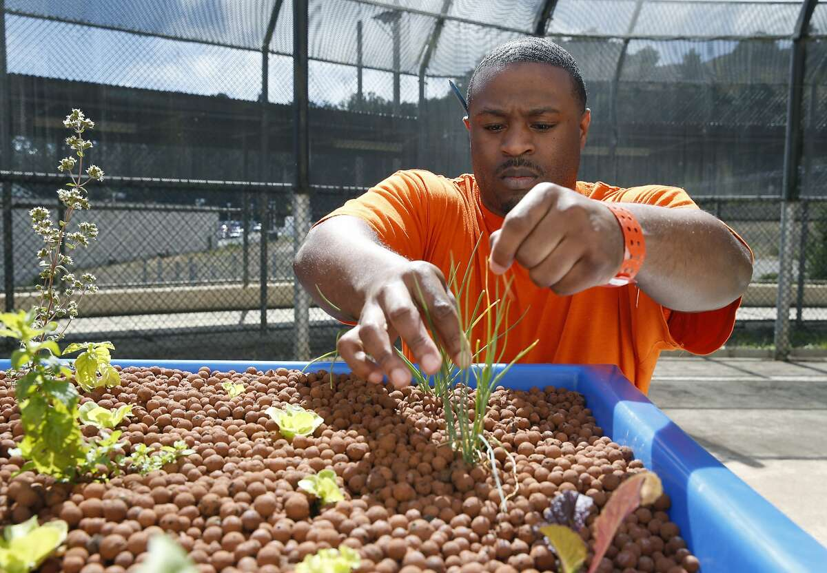 Adesola Kehinde tends to herbs growing in an aquaponics system at the San Francisco County Jail in San Bruno, Calif. on Tuesday, Sept. 15, 2015.