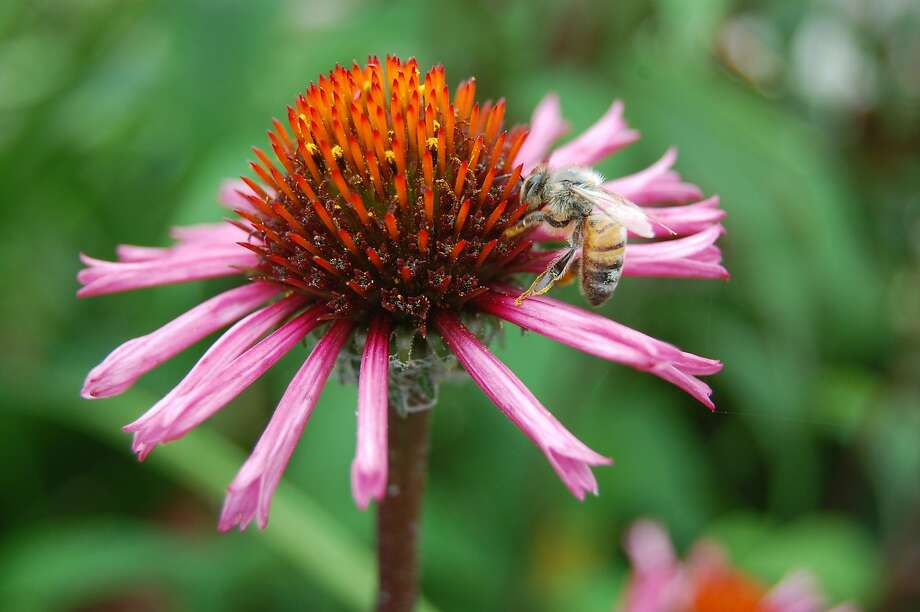 Echinacea 'Primadonna Deep Rose' is a coneflower that brings deep pink to the fall garden. Photo: Erle Nickel