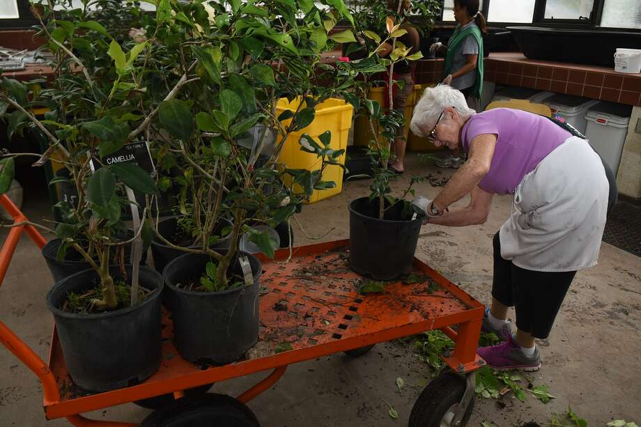 Volunteer Mary Ellen Brown cleans a camellia during a work session in the nursery potting shed at the Mercer Arboretum and Botanic Gardens in Humble in preparation for the upcoming autumn plant sale and market. Photo: Jerry Baker, Freelance