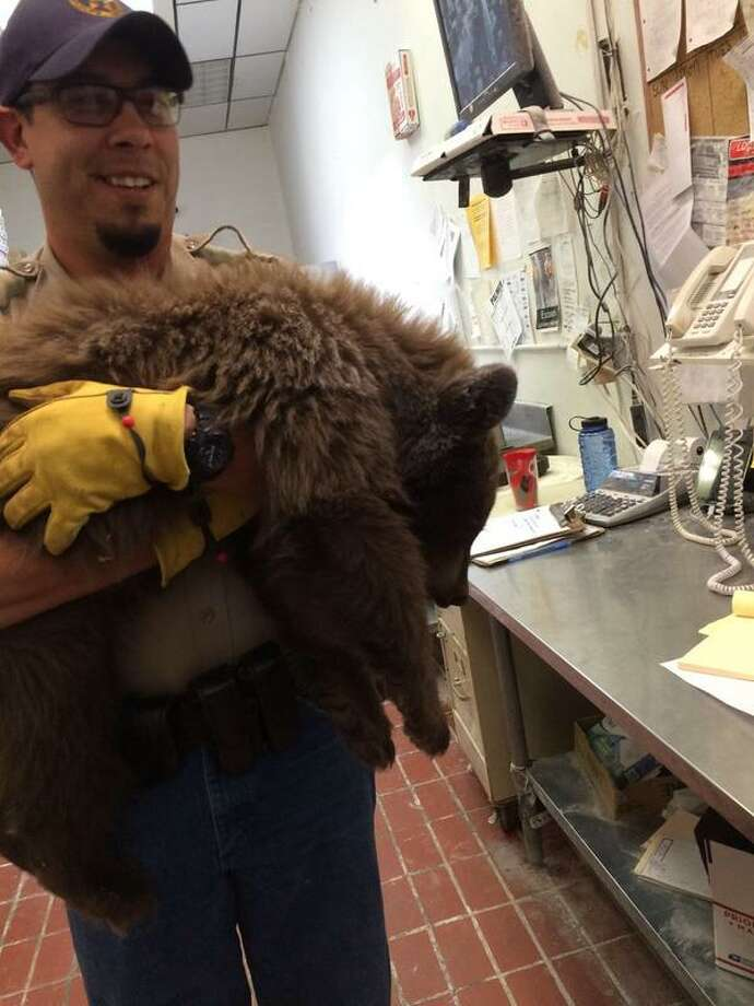 A baby bear fell asleep after finding its way inside Louie's Pizza in Colorado Springs, Colo. She was captured by wildlife officers without getting her pie. Photo: Colorado Springs Police Deot.