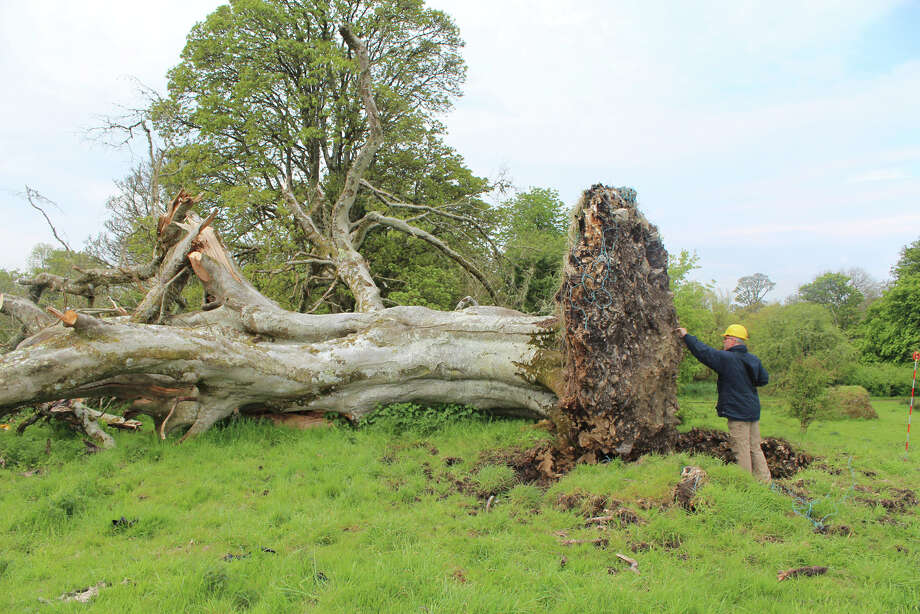 When this ancient tree at Collooney in County Sligo, Ireland, toppled in heavy winds, it revealed a long-forgotten medieval grave that it had grown over. The upper portion of the grave's skeleton was trapped in the root matrix of the collapsed beech. Photo: Courtesy Marion Dowd