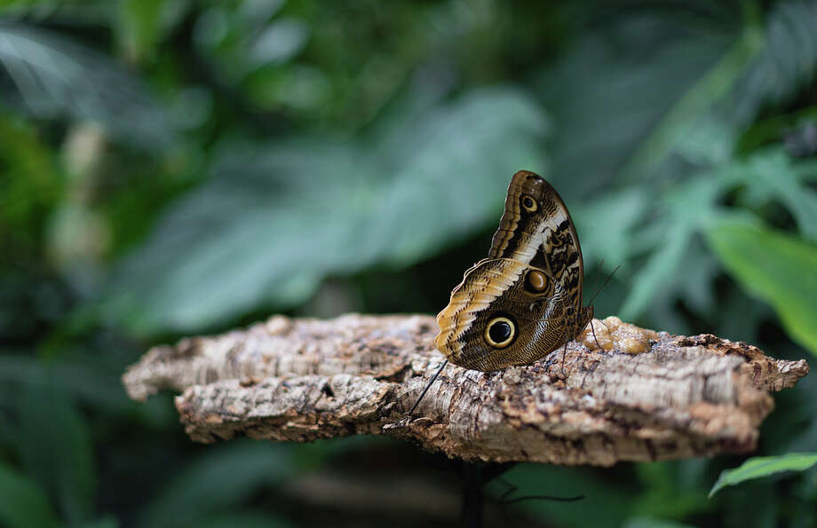 "The Houston Museum of Natural Science invites visitors to spend an ""Evening with Owls"" - butterflies, that is. Photo: Courtesy Photo"