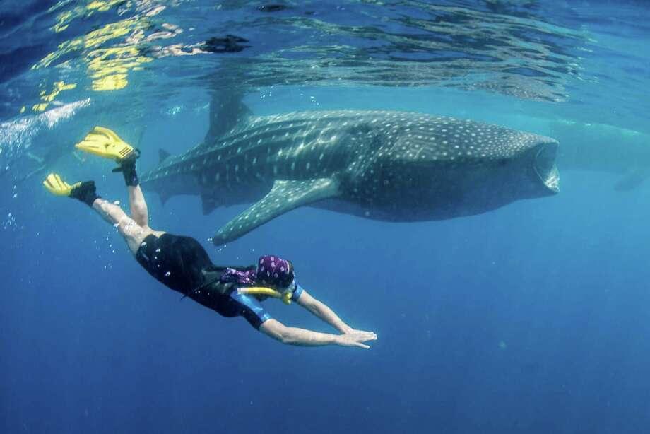 Pam LeBlanc swims alongside a whale shark about an hour's boat ride from Isla Mujeres, Mexico.  (Photo courtesy John S. Pierce) Photo: John S Pierce, HO / Austin American-Statesman