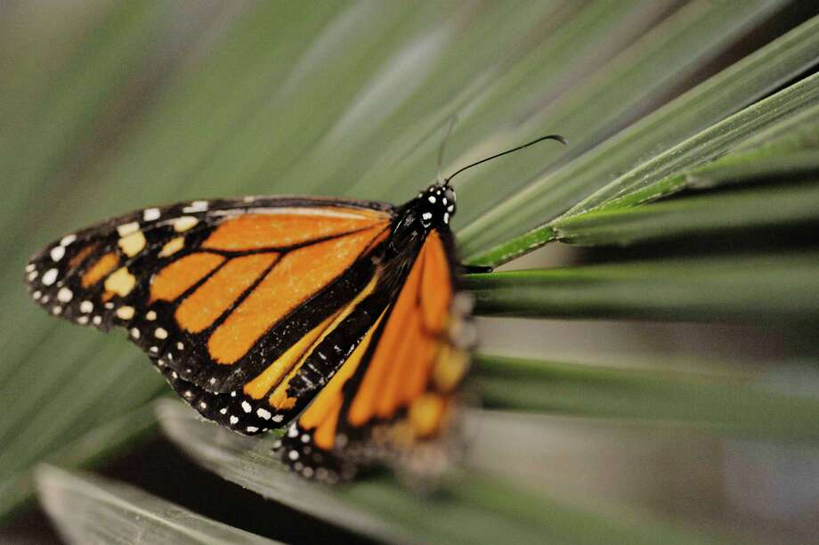 A monarch butterfly rests on a plant at the butterfly house inside the MiSci, the Museum of Innovation and Science on Monday, Feb. 16, 2015, in Schenectady, N.Y.  The butterfly house is open through April 19th.   (Paul Buckowski / Times Union) Photo: Paul Buckowski / 00030569A