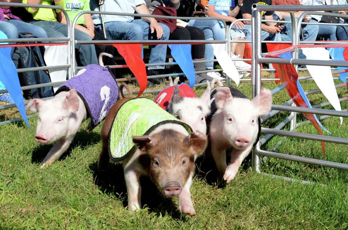 Pig races are a big hit at the Big E, which runs Friday, Sept. 18, through Sunday, Oct. 4, in West Springfield, Mass.