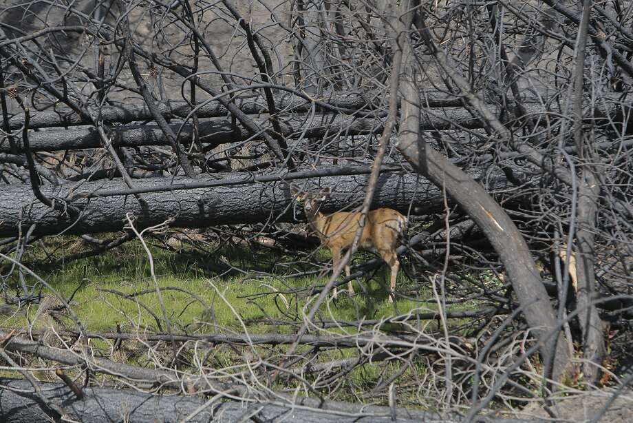 After the 257,000-acre Rim Fire, a deer finds a rare patch of green, a little sliver of grass, like an island amid a sea of ash and tree skeletons. Wildfires in California have dislocated wildlife, which ends up at athletic fields, golf courses, parks and backyards, anywhere they can find something to eat and drink. Photo: Tom Stienstra, The Chronicle