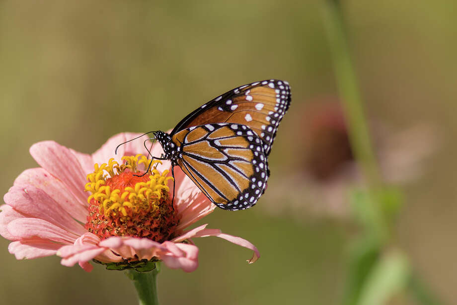 Prepare your garden for migratory monarchs by planting nectar-producing plants such as zinnia.  Photo Credit:  Kathy Adams Clark.  Restricted use. Photo: Kathy Adams Clark / Kathy Adams Clark/KAC Productions,