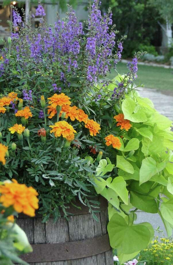 Angelonia is suited to containers and flower borders. Photo: Express-News File Photo / TLEHMANN@EXPRESS-NEWS.NET