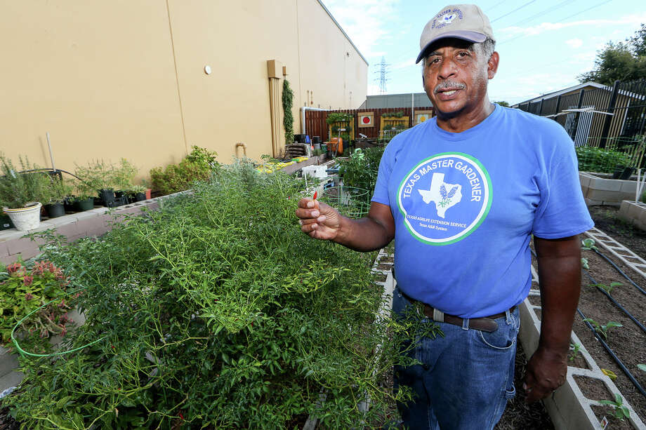Andrew Waring, a Bexar County master gardener, stands beside an Asian Chili Pepper bush (left) in the vegetable garden at Haven for Hope, 1 Haven for Hope Way, on Sept. 16. Waring oversees the vegetable garden and a butterfly garden at the facility. His goal is to re-establish the vegetable garden that was started by the San Antonio Food Bank so that it can become a teaching garden. Photo: Marvin Pfeiffer /San Antonio Express-News / Express-News 2015