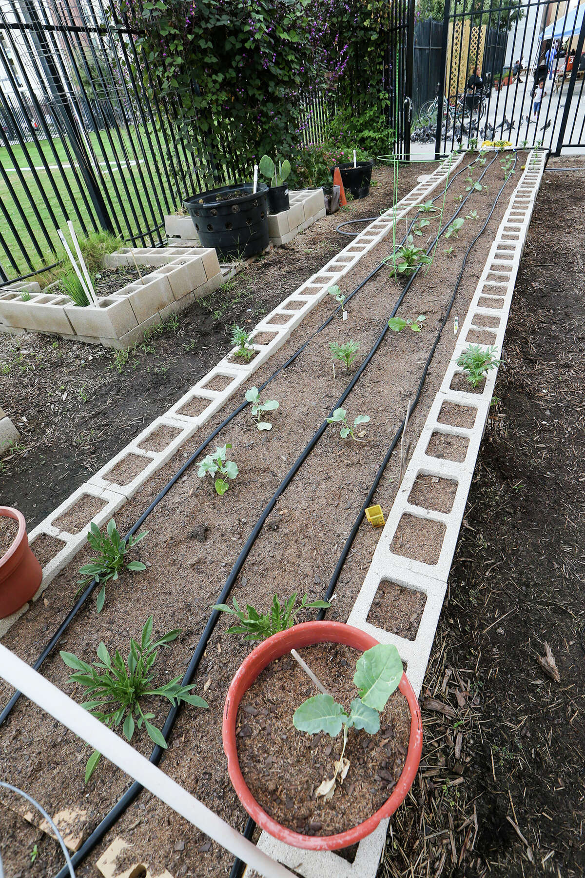 A recently planted row of cauliflower, broccoli, bell pepper and cabbage is getting established in a raised bed in the vegetable garden at Haven for Hope.