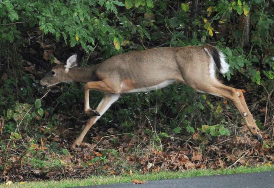 Ridgefield is adding three new designated hunting areas to control the town's deer population. Photo: Tyler Sizemore / File Photo / Greenwich Time
