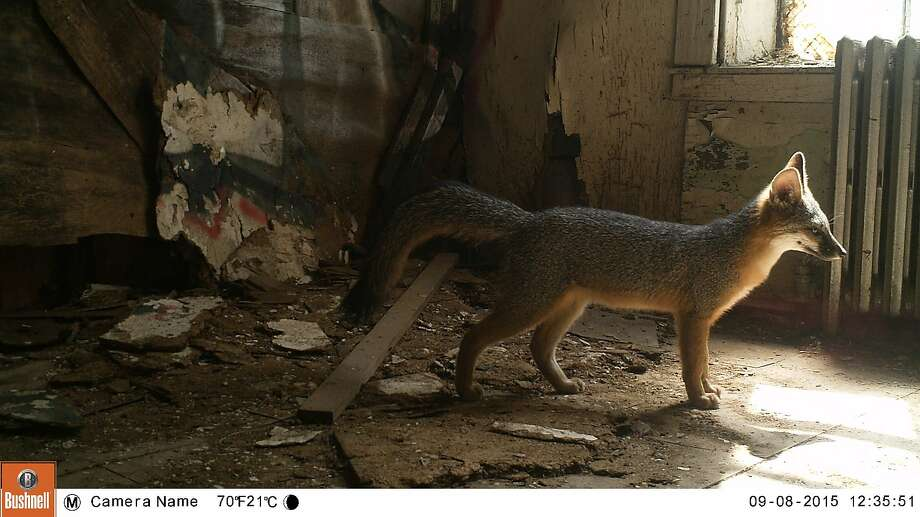 A night-vision camera captures the image of a young gray fox living in an old, roomy storage building in the Presidio. Photo: Courtesy Of Presidio Trust