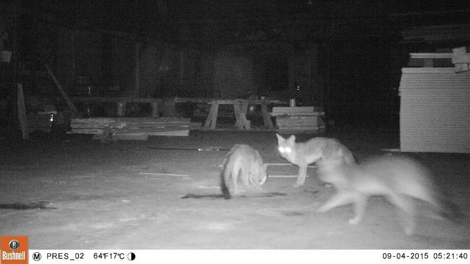 A group of gray foxes, captured by a night vision camera, tussle playfully in a storage building in the Presidio, where they have taken up residence. Photo: Courtesy Of Presidio Trust
