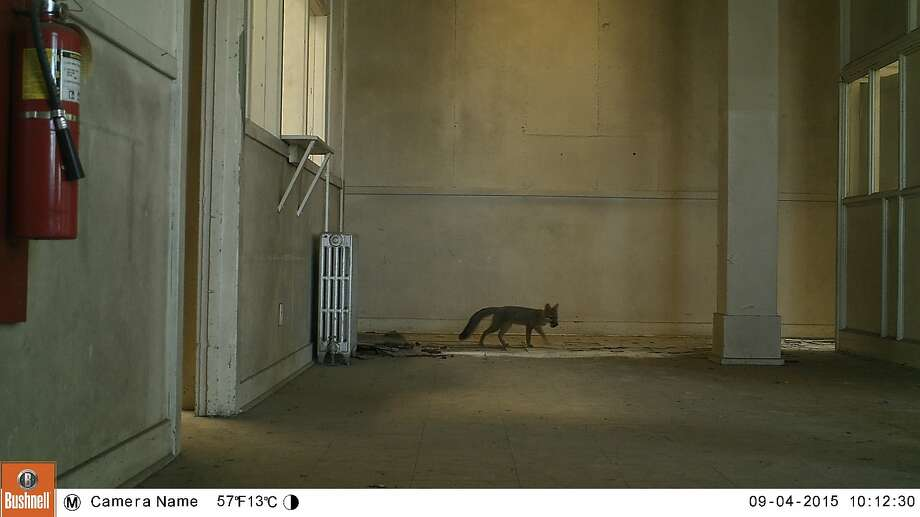 A motion-activated camera captures the image of a young gray fox living in a storage building at the Presidio. Photo: Courtesy Of Presidio Trust