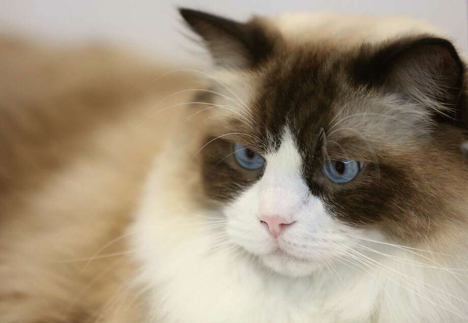 A Ragdoll cat waits to compete during the Houston Cat Show at Humble Civic Center on Saturday, Jan. 10, 2015, in Humble. ( Mayra Beltran / Houston Chronicle ) Photo: Mayra Beltran, Staff / © 2015 Houston Chronicle