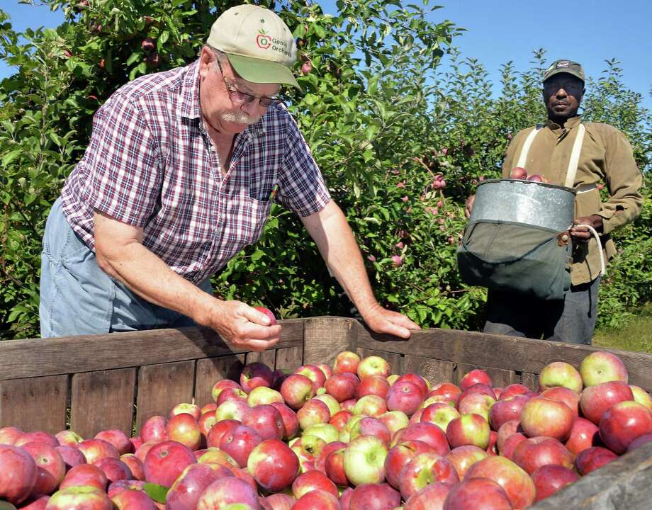 Goold Orchard president Ed Miller, left, and farm worker Kendrick Douglas pick Cortland apples Thursday Sept. 17, 2015 in Castleton, NY.  (John Carl D'Annibale / Times Union) Photo: John Carl D'Annibale / 00033396A