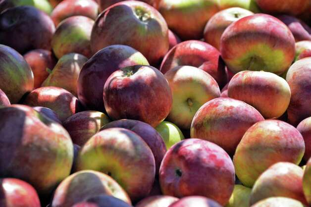 Freshly harvested Cortland apples at Goold Orchard Thursday Sept. 17, 2015 in Castleton, NY.  (John Carl D'Annibale / Times Union) Photo: John Carl D'Annibale / 00033396A
