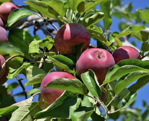 Cortland apples ready for picking at Goold Orchard Thursday Sept. 17, 2015 in Castleton, NY.  (John Carl D'Annibale / Times Union) Photo: John Carl D'Annibale / 00033396A