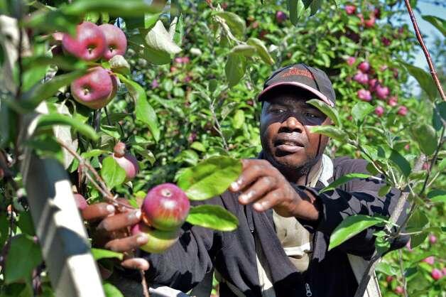 Farm worker George Phillips picks Cortland apple at Goold Orchard Thursday Sept. 17, 2015 in Castleton, NY.  (John Carl D'Annibale / Times Union) Photo: John Carl D'Annibale / 00033396A