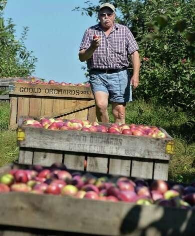 Goold Orchard president Ed Miller samples a Cortland apple as he oversees apple picking Thursday Sept. 17, 2015 in Castleton, NY.  (John Carl D'Annibale / Times Union) Photo: John Carl D'Annibale / 00033396A