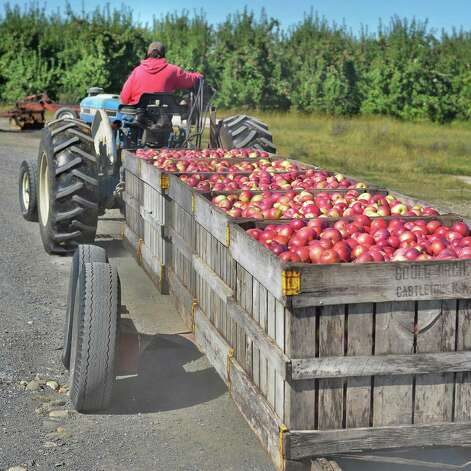 A farm worker brings in a harvest of McIntosh apples at Goold Orchard Thursday Sept. 17, 2015 in Castleton, NY.  (John Carl D'Annibale / Times Union) Photo: John Carl D'Annibale / 00033396A