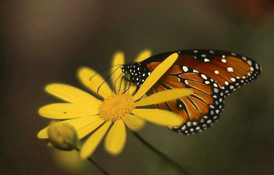 Natural Bridges State Beach in Santa Cruz will welcome its monarch migrants with a festival, followed by fall and winter weekend tours of the butterflies' roost in a eucalyptus grove. Photo: Santa Cruz County CVC, Friends Of SC State Parks